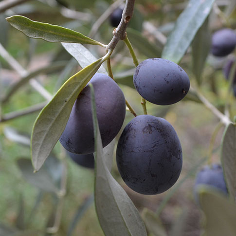 About EVOO